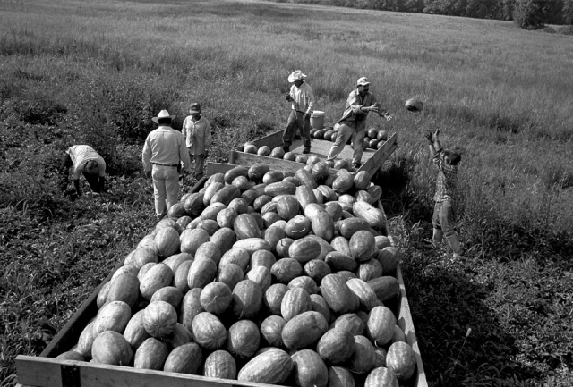 Many people think of migrant farmworkers in California, but in fact they work all over the nation, moving from place to place and crop to crop. If produce can be picked by a machine, it will be, but many crops require human handling by tens of thousands of low-paid workers, like these who endured long hours bent to the ground to harvest watermelons near Conesville, Iowa, in 2003. (Danny Wilcox Frazier)