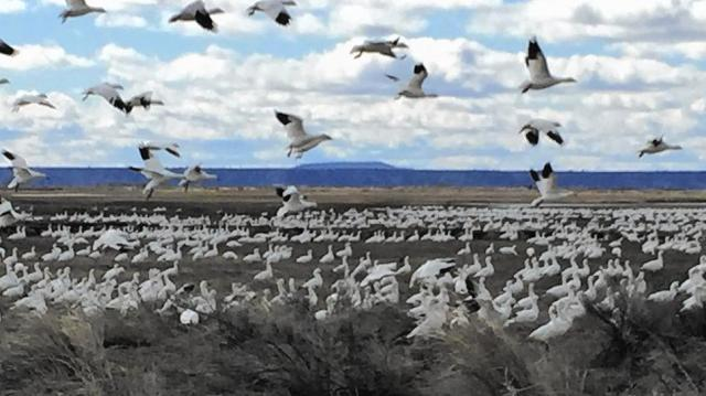 """The geese returned to Malheur National Wildlife Refuge, Oregon, last May, just a few months after an armed band of anti-government """"militia"""" people occupied it and trashed the place, causing millions of dollars in damages. All birds of the air, glorify the Lord! (Hal Bernton, Seattle Times)"""