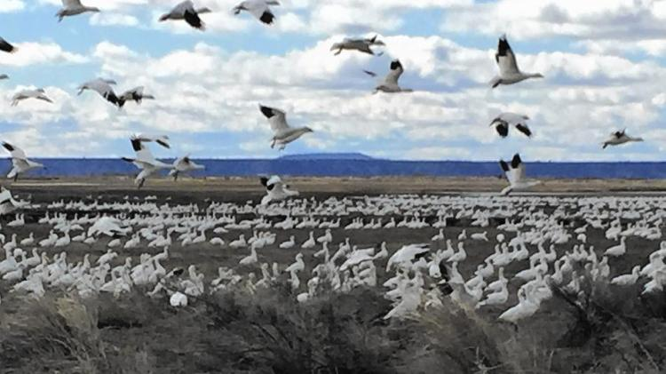 "The geese returned to Malheur National Wildlife Refuge, Oregon, last May, just a few months after an armed band of anti-government ""militia"" people occupied it and trashed the place, causing millions of dollars in damages. All birds of the air, glorify the Lord! (Hal Bernton, Seattle Times)"