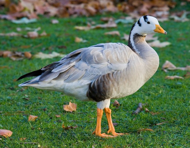 For the beauty of the Earth: bar-headed goose at St. James's Park, London. (Wikipedia)