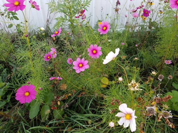 A profusion of cosmos this week at a small farm in Missouri. (Maria L. Evans)