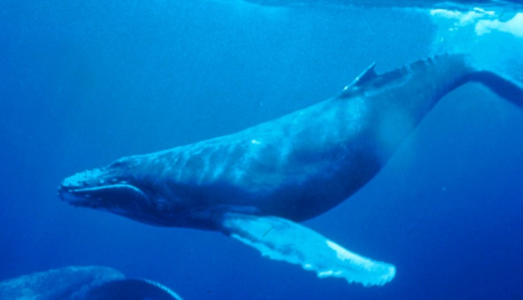 O whales and all that move in the waters, glorify the Lord! (Wikipedia)
