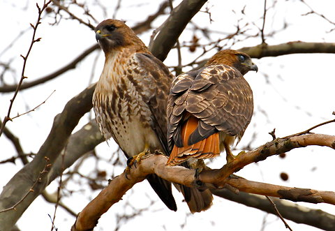 For the beauty of the Earth: a pair of red-tailed hawks in Washington Square Park, New York City, 2012. (Jean Shum)