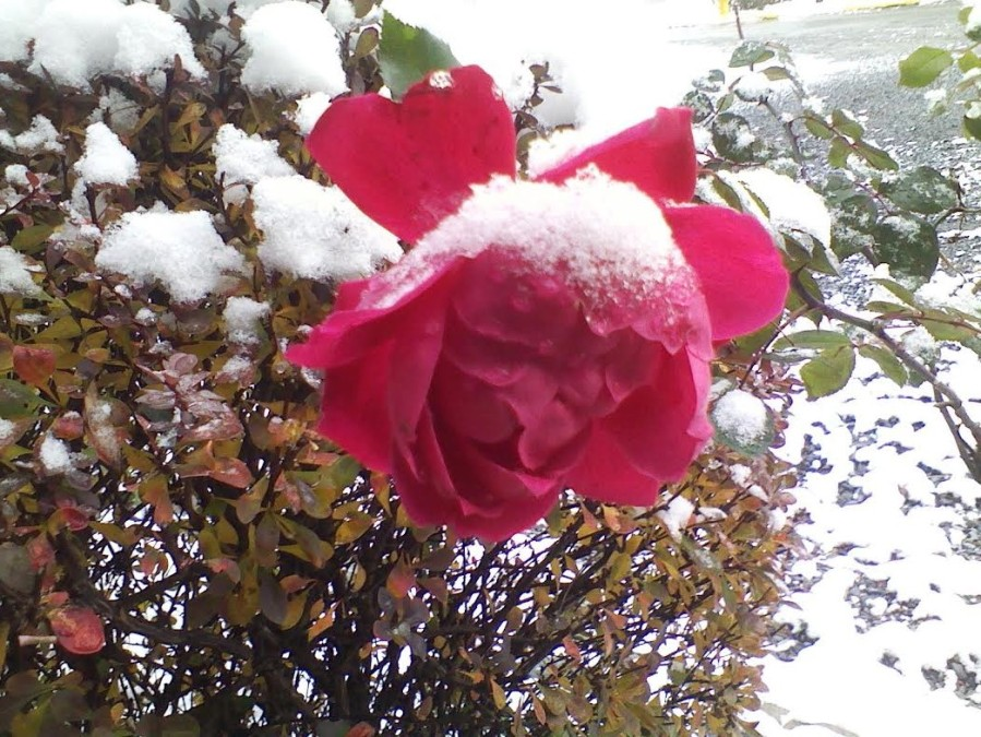 For joy in God's creation: the last rose of summer, Monday in upstate New York. (The Rev. Michael Hartney)
