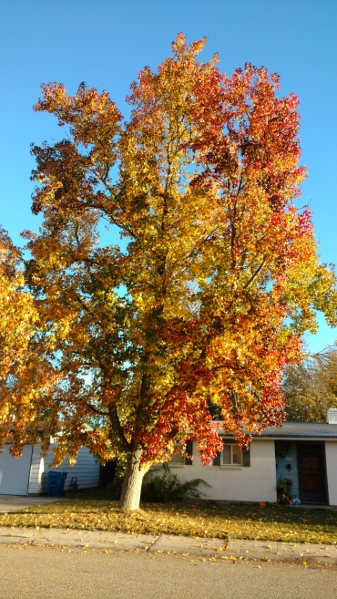 A neighbor's maple tree last week in Boise, Idaho: sing praise and give honor for ever. (The Rev. Debbie Graham)