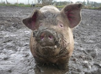 There is all kinds of filth in the Bible; pigs, unlike humans, are seldom accused of immoral choices.