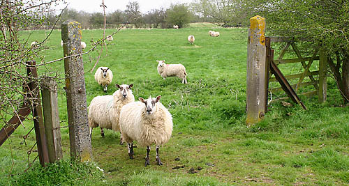 i-am-the-gate-sheep