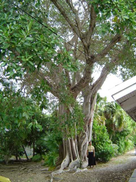 For joy in God's creation: a very large ficus tree a few years ago at St. Columba's, Marathon, Florida. Tonight we'll have a closeup of that root system. (The Rev. Michael Hartney)
