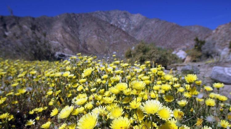 Unexpected rain in Southern California this year will probably lead to an abundance of desert wildflowers this spring, according to the Los Angeles Times. If so, they will come back after years of drought. (LAT)