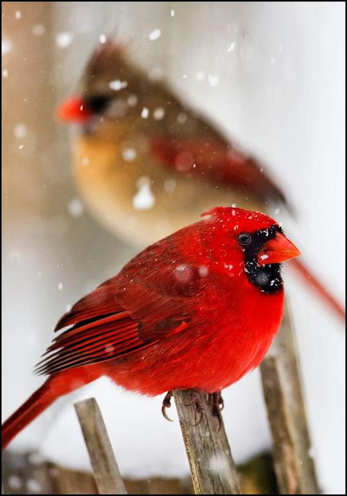 Morning prayer tuesday in the third week of - Pictures of cardinals in snow ...