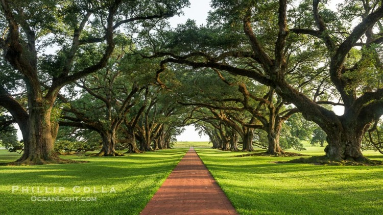 Oak Alley Plantation and its famous shaded tunnel of  300-year-old southern live oak trees (Quercus virginiana).  The plantation is now designated as a National Historic Landmark.